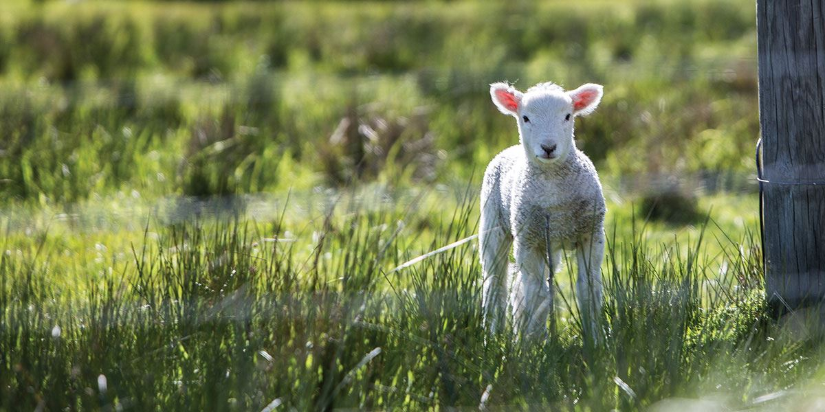 Head to the region in spring and you might get to see some baby lambs
