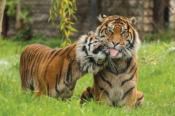 Take the family to see the majestic animals at Howletts Wild Animal Park