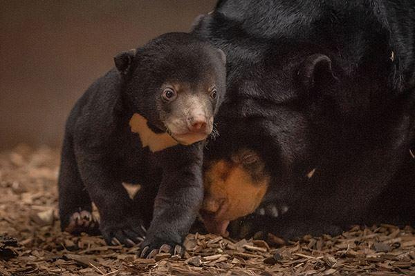 Bear cub at Chester Zoo