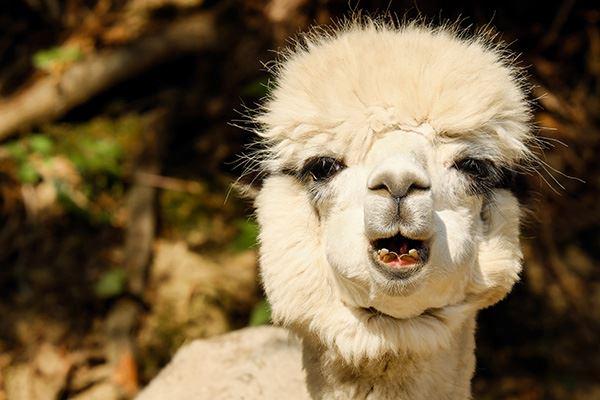 Pet an alpaca