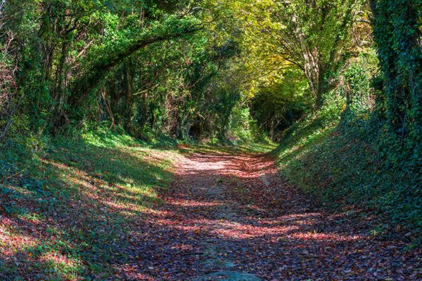Halnaker Tunnel of Trees, Chichester
