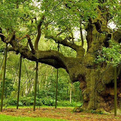 Major Oak, Sherwood Forest