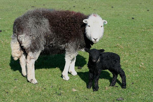 Lambing season is special in this region