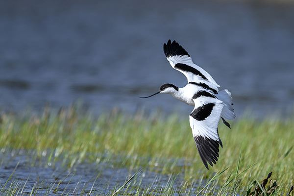 Try and spot a white advocet at RSPB Minsmere