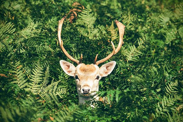See deer at Bradgate Park
