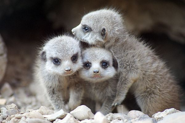Baby meerkats at Tropical World