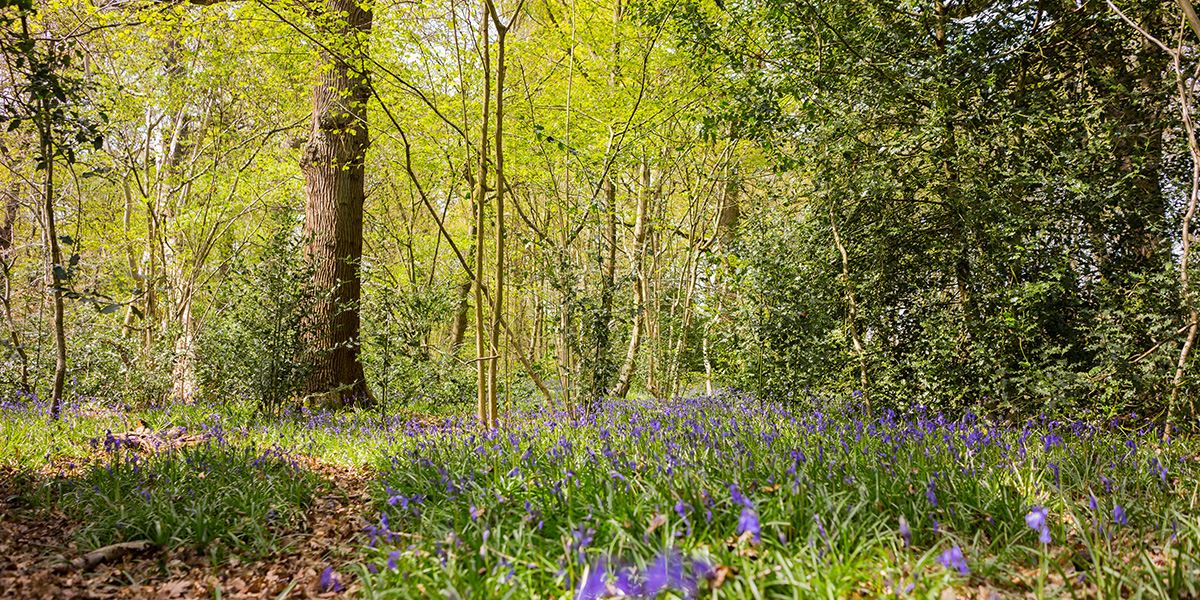 Visit Swithland Wood in late April to see the bluebells