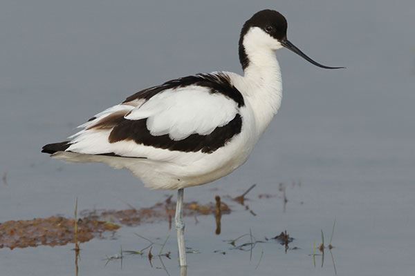 Try and catch a close-up of the elegant Avocet at the nature reserve