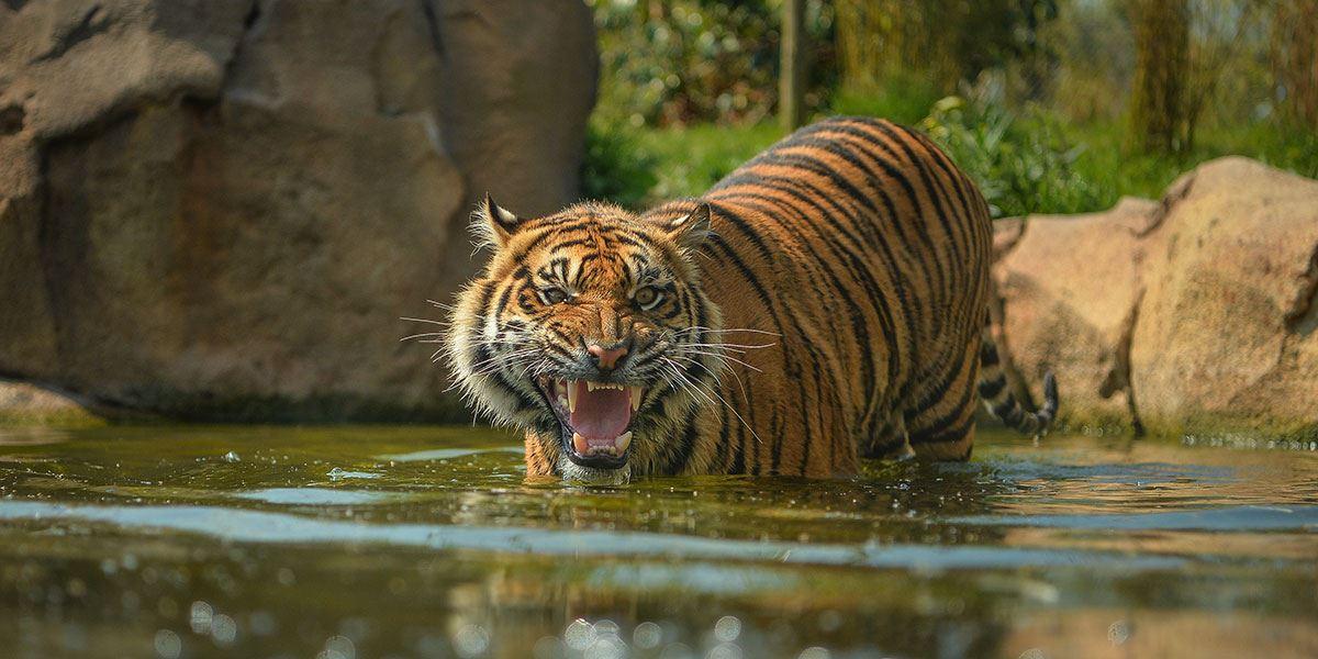 The beautiful Jaya, a Sumatran tiger in Chester Zoo