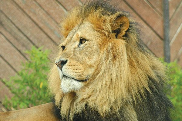Get up close and personal with the lions at Colchester Zoo