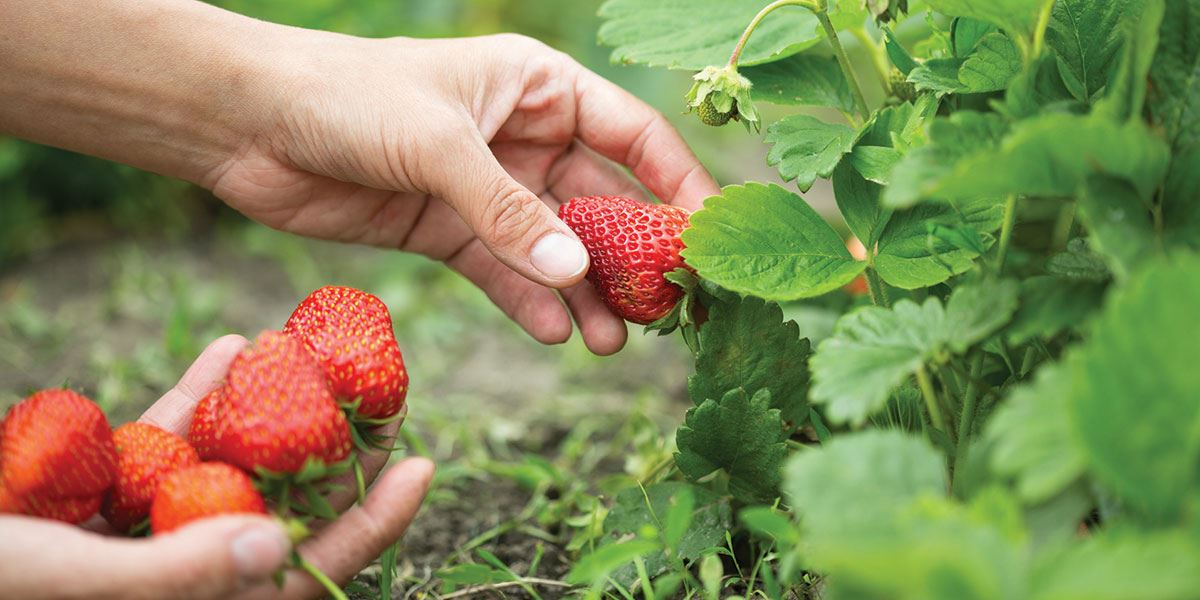 Essex has a wealth of 'pick your own' fruit farms
