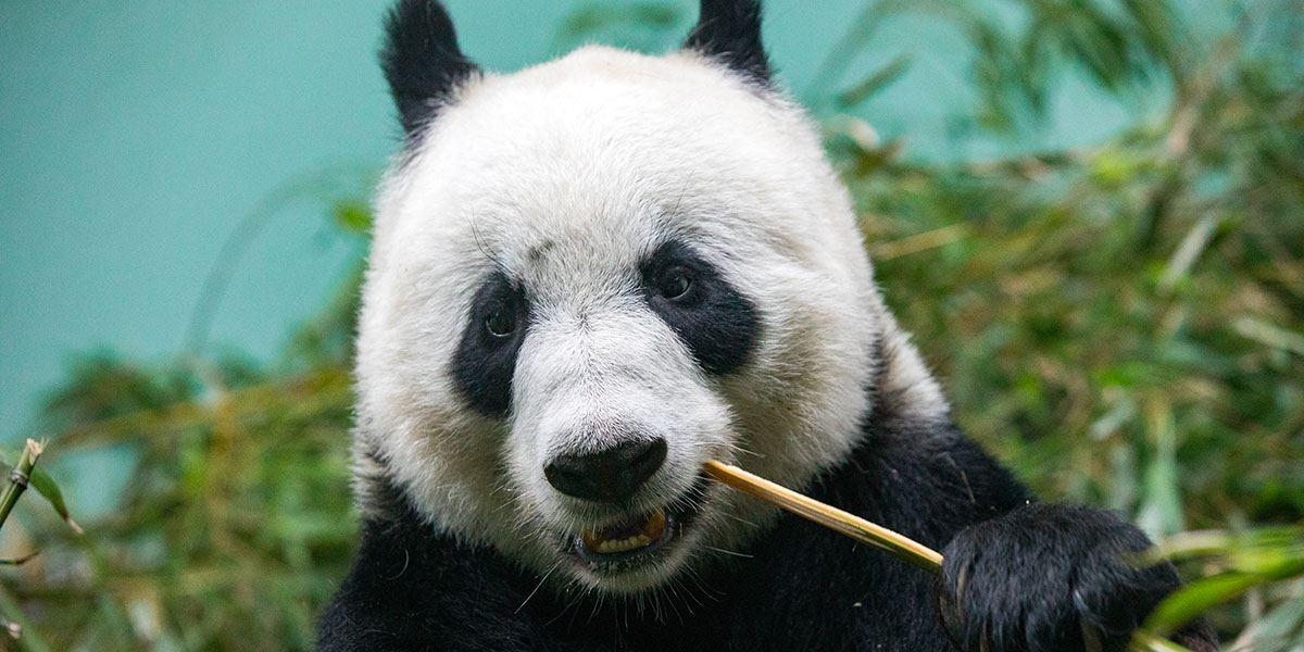 When Tian Tian and Yang Guang arrived at Edinburgh Zoo in 2011, they officially became the first giant pandas to live in the UK for 17 years