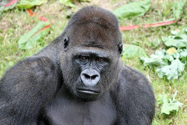 Silverback gorilla at Jersey Zoo