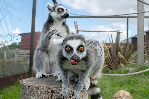 Lemurs at Noah's Ark Zoo Farm in Somerset