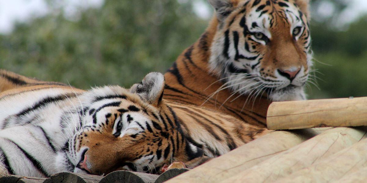 Amur tigers at Paradise Wildlife Park, Hertfordshire