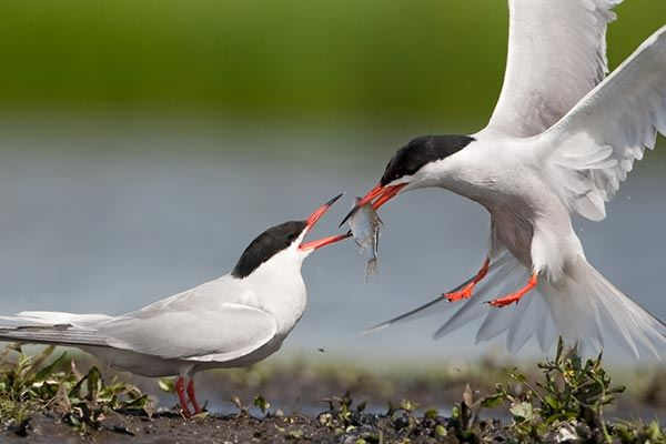 A Common Tern bird feeding another fish at RSPB Salthome
