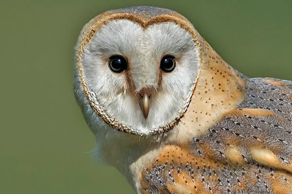 Barn owl at International Centre for Birds of Prey, Gloucestershire
