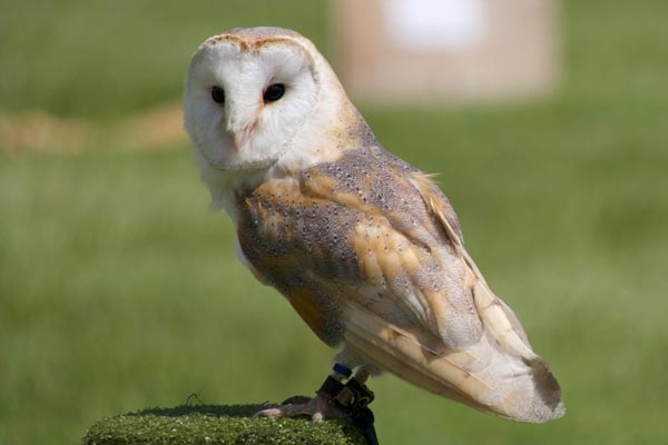 Barn owl at Wilderlands Festival in West Sussex