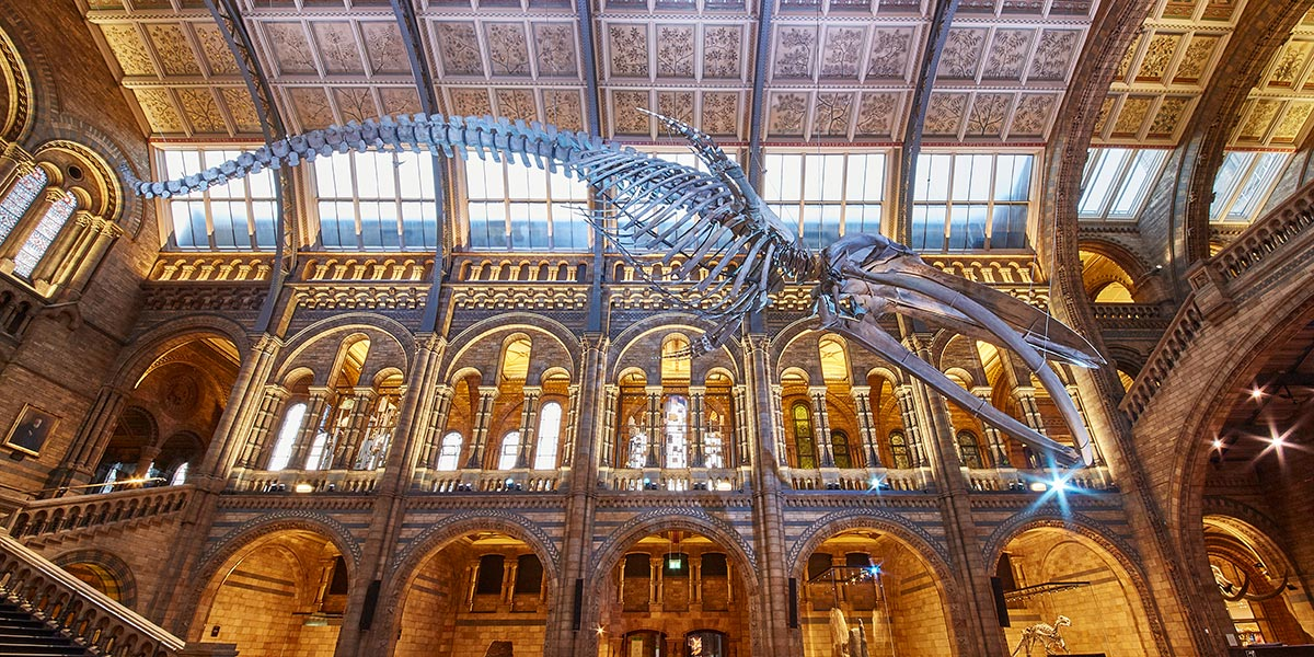 Blue whale skeleton in the Hintze Hall at the Natural History Museum in London