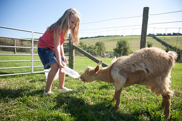 Little girl feeding goat at Nettlecombe Farm on the Isle of Wight