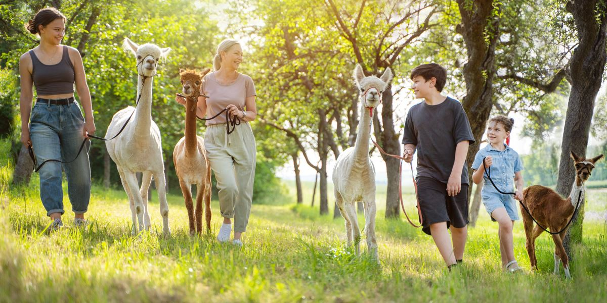 Alpaca trek in the countryside