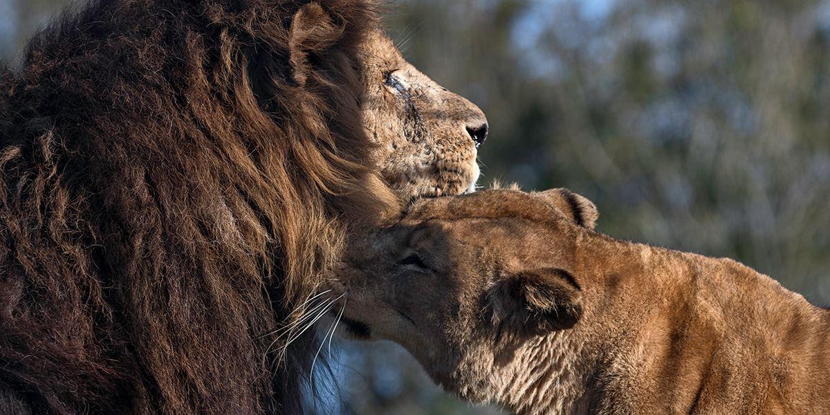 South Lakes Safari lions