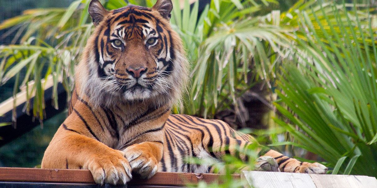 Sumatran tiger at Edinburgh Zoo